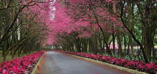 cherry-blossoms-570046_1280