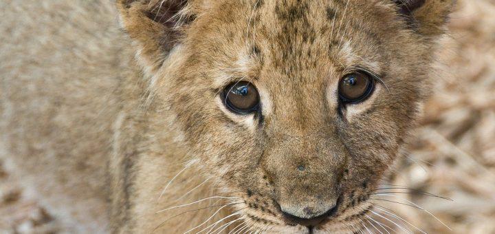 lion-cub-277121_1280