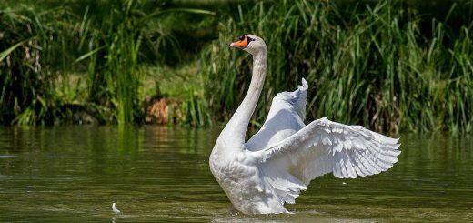 swan crop-359931_1280