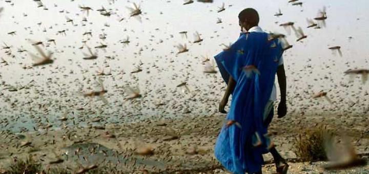 locusts-swarm-615