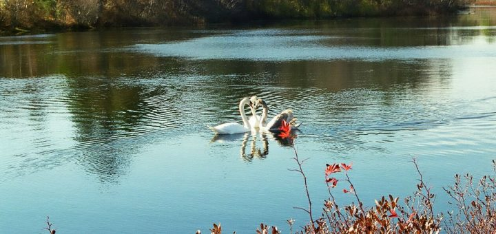 swans 11330002