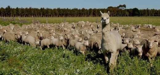 flock-of-sheep-